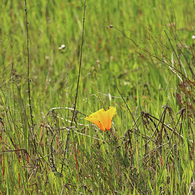 Photograph - Lone Poppy by Art Block Collections