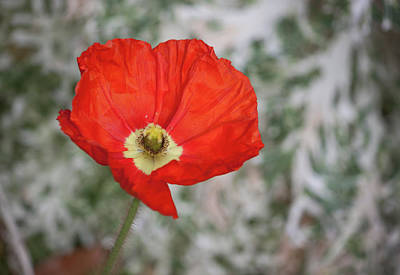 Photograph - Lone Poppy by Suzanne Gaff