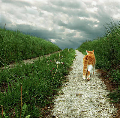Lone Red And White Cat Walking Along Grassy Path Art Print