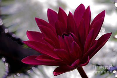 Photograph - Lone Red Lily by Ken Frischkorn