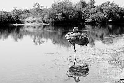 Photograph - Lone Sandhill In Pond Black And White by Carol Groenen