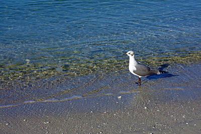 Lone Seagull At Miramar Beach In Naples Art Print