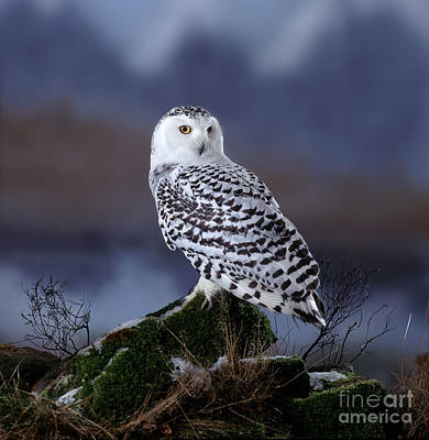 Photograph - Lone Snowy Owl by Warren Photographic