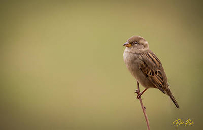 Photograph - Lone Sparrow by Rikk Flohr