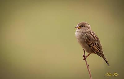 Photograph - Lone Sparrow by Rikk Flohr