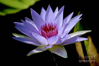 Photograph - Lone Star Water Lily by Jeannie Rhode