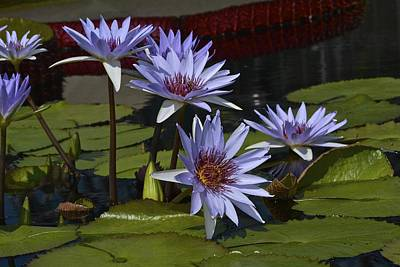 Photograph - Lone Star Waterlilies by Tana Reiff