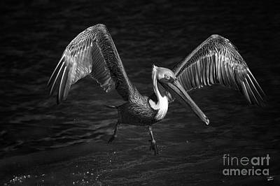 Lone Pelican In Flight - Black And White Original