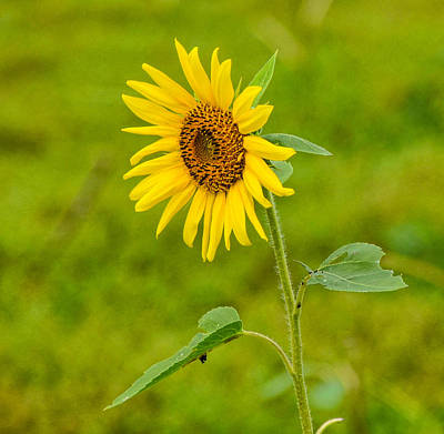 Photograph - Lone Sunflower by Linda Brown