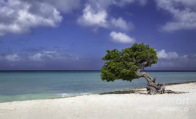Photograph - Lone Tree In Aruba by Brian Jannsen