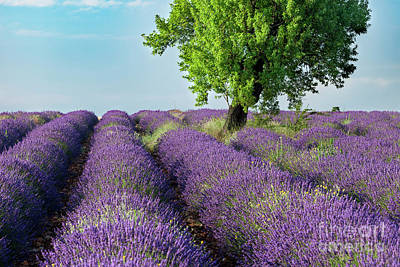 Photograph - Lone Tree In Field Of Lavender by Brian Jannsen