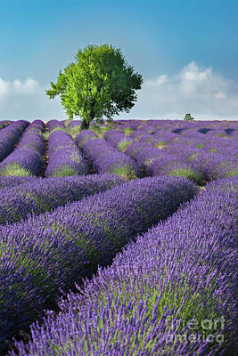 Photograph - Lone Tree In Field Of Lavender II by Brian Jannsen