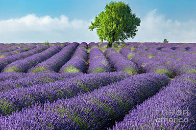 Photograph - Lone Tree In Field Of Lavender IIi by Brian Jannsen