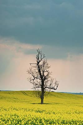 Lone Tree In Rape Field 1 Art Print by Douglas Barnett