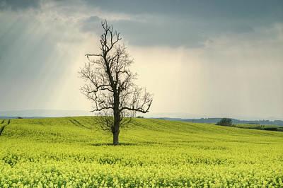 Lone Tree In Rape Field 2 Art Print