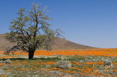 Lone Tree In The Poppies Print by Sandra Bronstein