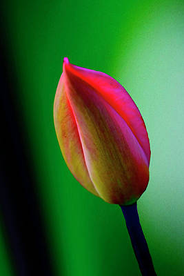 Photograph - Lone Tulip by Renee Marie Martinez