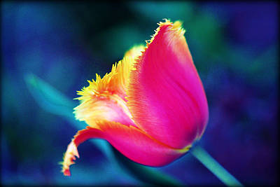 Photograph - Lone Tulip by Susie Weaver