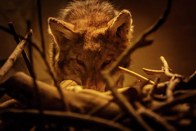 Photograph - Lone Wolf In The Museum by Kathleen Scanlan