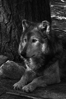 Lone Wolf Print by Karol Livote