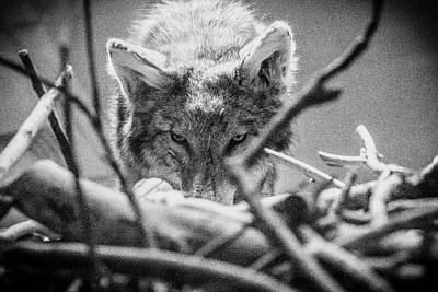 Photograph - Lone Wolf Of The Smithsonian II by Kathleen Scanlan