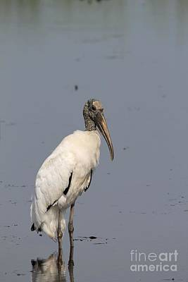 Photograph - Lone Woodstork by Kathy Gibbons
