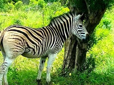 Photograph - Lone Zebra by Vijay Sharon Govender