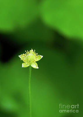 Photograph - Lonely Avens by Robin Clifton