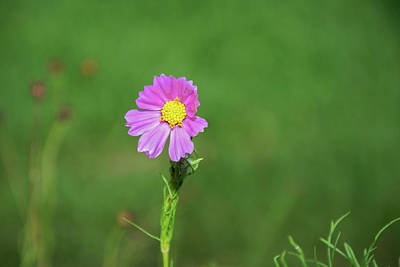 Photograph - Lonely Cosmo by Vanessa Valdes