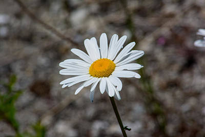Photograph - Lonely Daisy by Tikvah's Hope