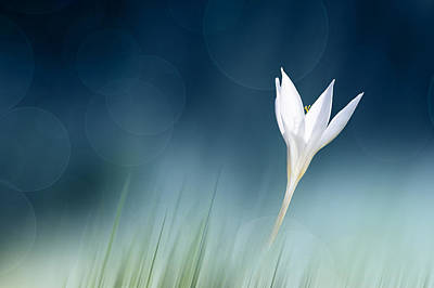 Crocus Photograph - Lonely by Doris Reindl