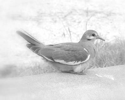 Photograph - Lonely Dove by James Granberry