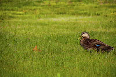 Photograph - Lonely Duck by Karol Livote
