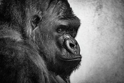 Photograph - Lonely Gorilla by Philip Rodgers