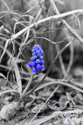 Photograph - Lonely Grape Hyacinth Select Blue by Jennifer White