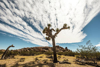 Photograph - Lonely Joshua Tree by Amyn Nasser