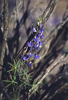 Photograph - Lonely Lupine by Randy Oberg