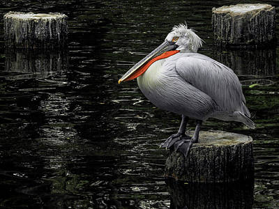 Photograph - Lonely Pelican by Pradeep Raja Prints