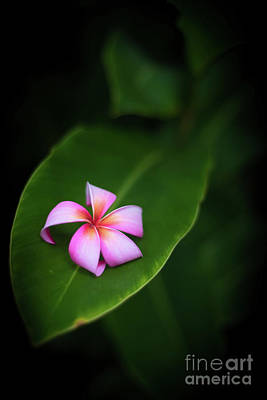 Photograph - Fallen Plumeria by Kelly Wade