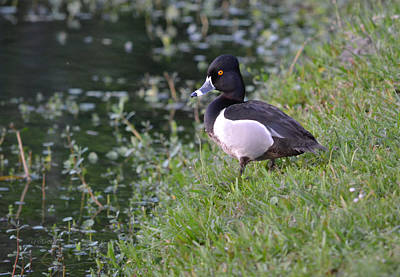 Photograph - Lonely Ring Necked Duck - Aythya Collaris by rd Erickson