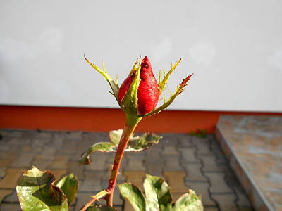 Photograph - Lonely Rosebud  by Erika H