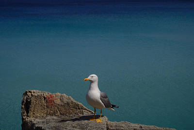 Photograph - Lonely Seagull by Laura Greco