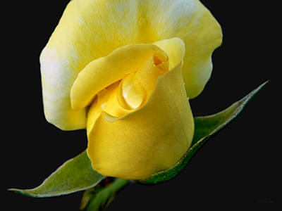 Photograph - Lonely Teardrop Yellow Rose Bud by Jennie Marie Schell