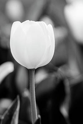 Photograph - Lonely Tulip In Black And White by Vishwanath Bhat