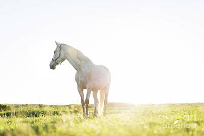 Photograph - Lonely White Horse Standing On The Grass Field In The Sunset. by Michal Bednarek