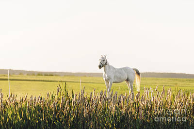 Photograph - Lonely White Horse Standing On The Green Field With Flowers by Michal Bednarek