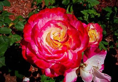 Photograph - Long Beach Rose 1 by Robert Meyers-Lussier