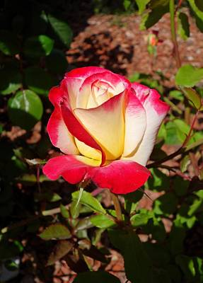 Photograph - Long Beach Rose 2 by Robert Meyers-Lussier
