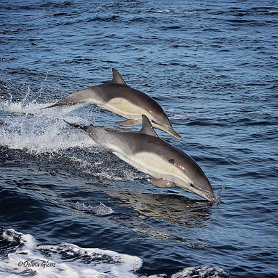Photograph - Long Beaked Common Dolphins Porpoising by Deana Glenz