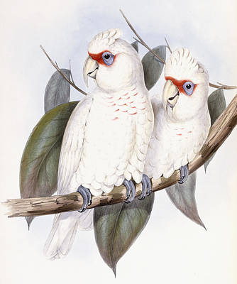 Cockatoo Drawing - Long-billed Cockatoo by John Gould